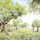 Olive Grove Provence France
